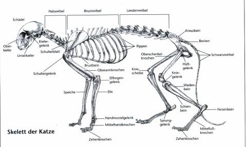 Anatomie einer Katze
